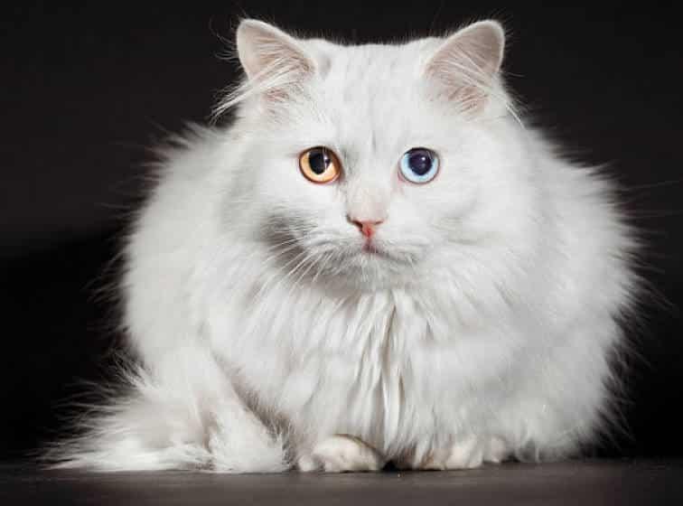 gato angora el delos ojos azules y cafe