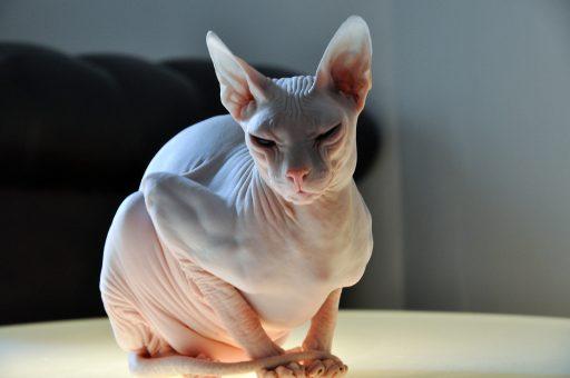 una version rusa del gato sin pelos