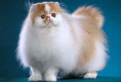 gato persa bicolor lindos divertidos