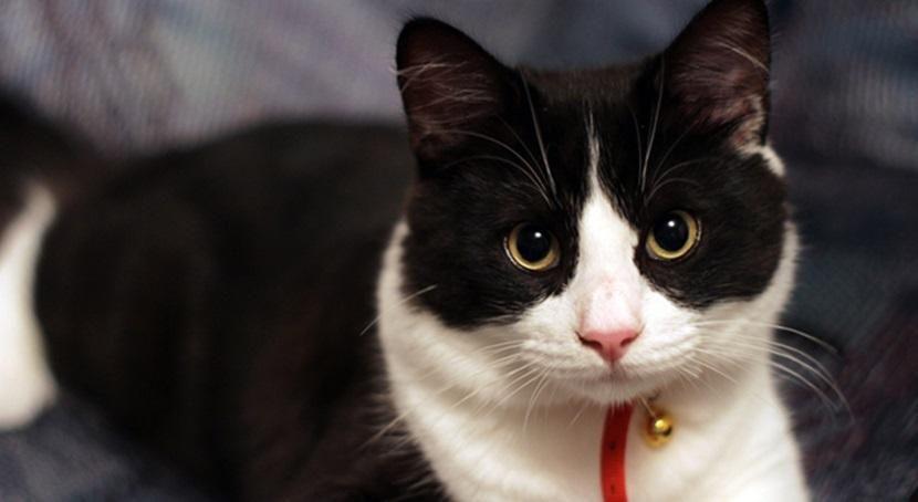 la leyenda celta del gato bicolor blanco y negro