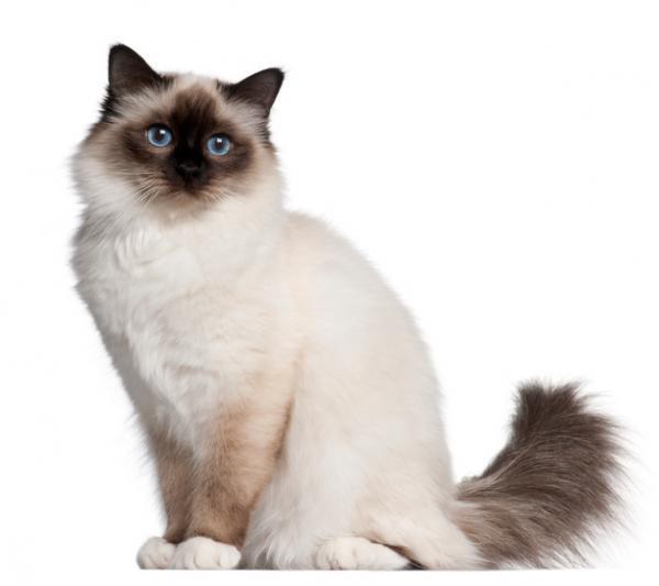 la leyenda del gato siames de birmania