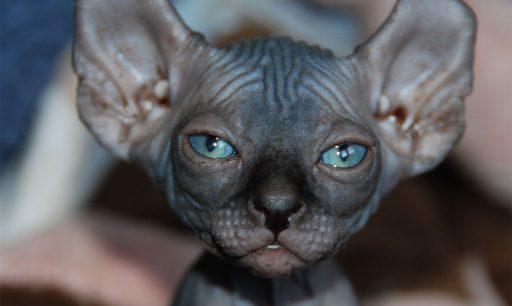 gato elfo el mas extraño del mundo