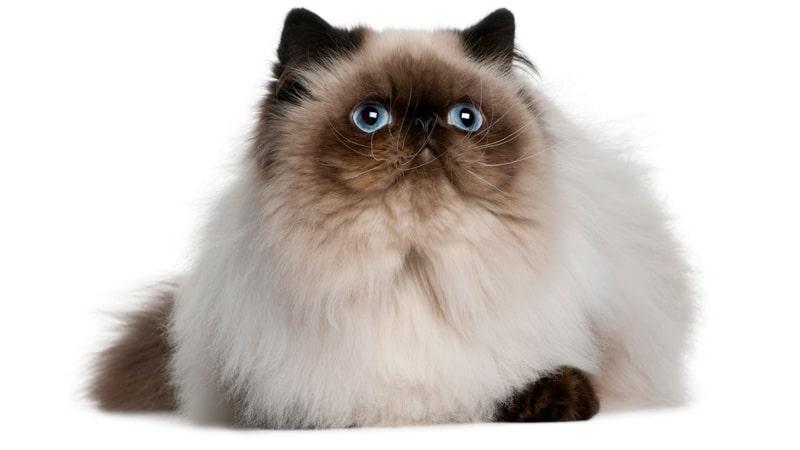 el gato persa himalayo de ojos azules