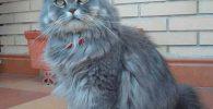 el gato persa smoke tranquilo y sociable