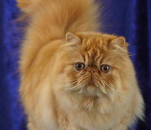 el gato persa tabby atigrado