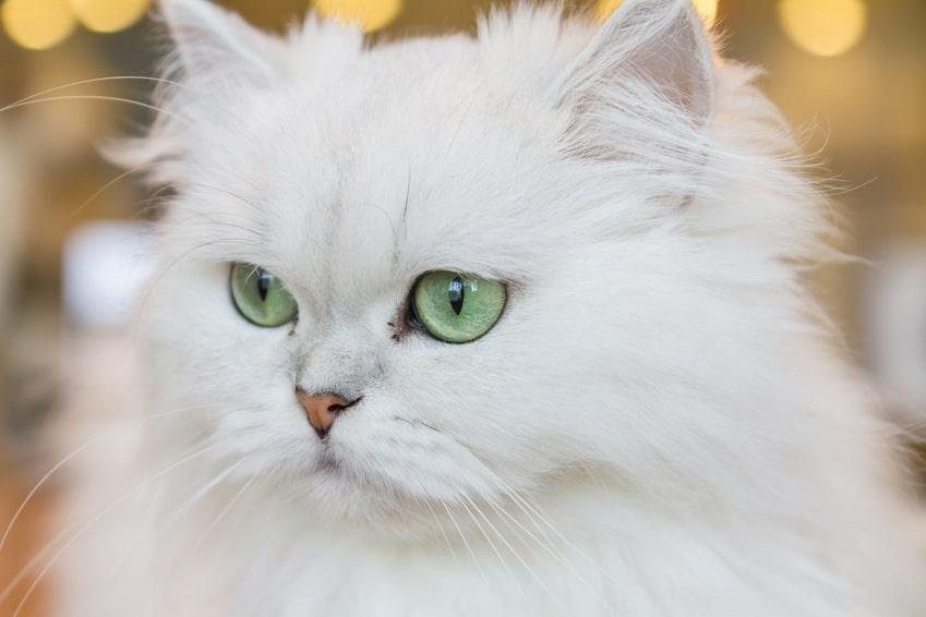 gato persa el felino que conquisto los hogares