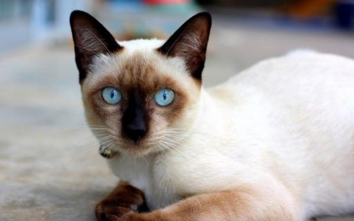 los mas bonitos gatos siames