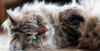 el gato siberiano lindo y particular