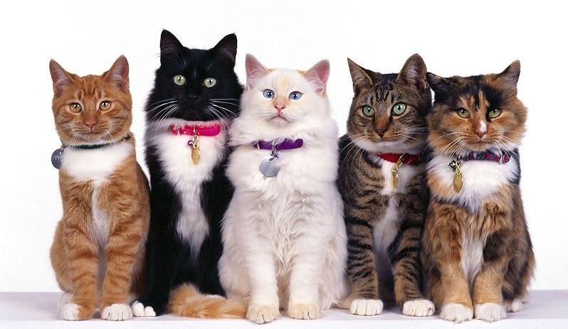 todas las razas de gatos exoticos que existen