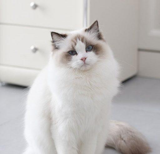los muy lindos gatos ragdoll