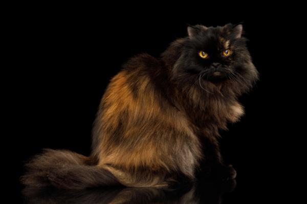 gato persa particolor