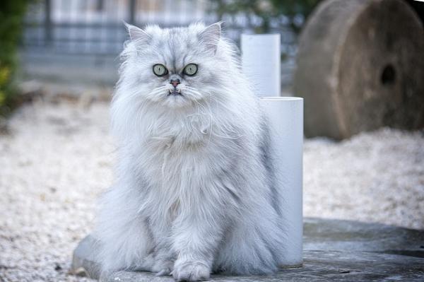 el gato persa silver golden