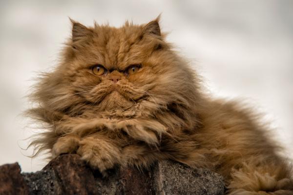 variedad de gato persa