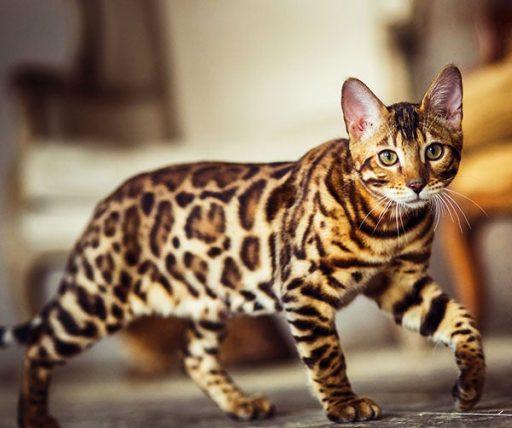 gato bengali caracteristicas