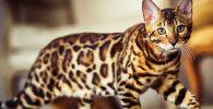 gato bengali o leopardo
