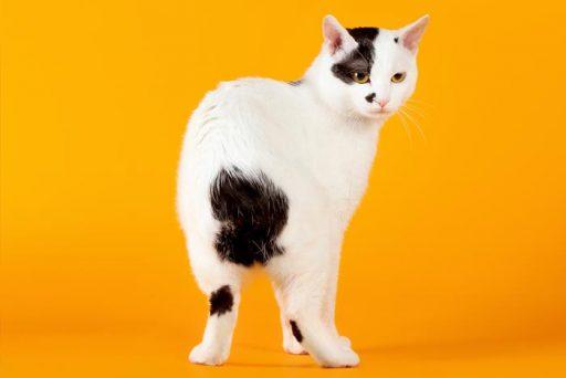 gato manx caracteristicas
