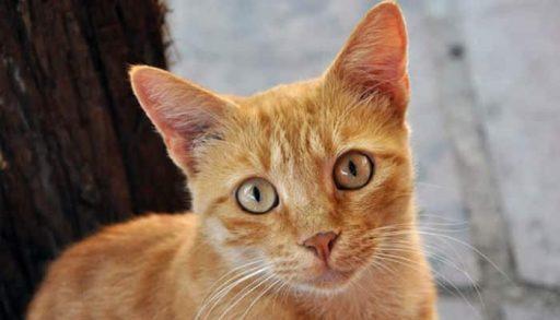 gato brasileño de pelo corto caracteristicas